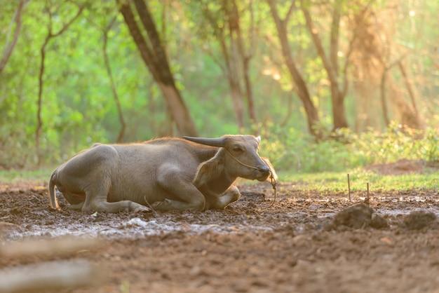 Thailand-büffel