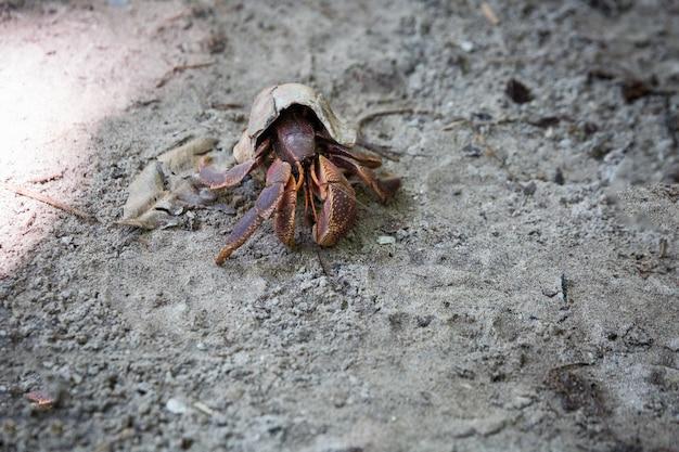 Thailand große krabbe