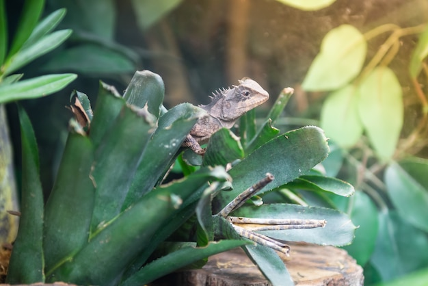 Thailand seltene arten von chamäleon