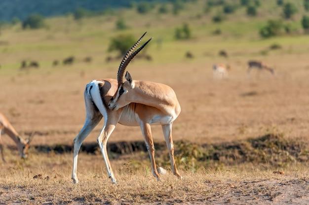 Thomson-gazelle auf savanne im nationalpark von afrika