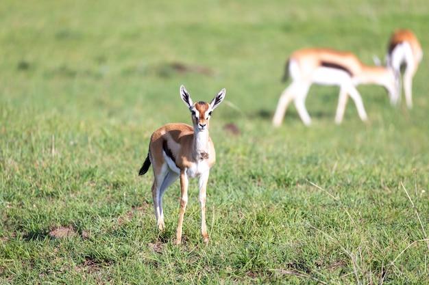 Thomson gazellen inmitten einer grasbewachsenen landschaft in der kenianischen savanne
