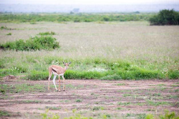 Thomsons gazelle im grasland von kenia mit vielen pflanzen