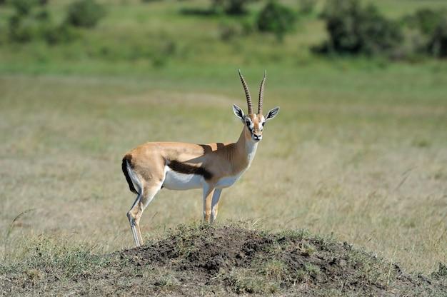 Thomsons gazelle über die savanne in afrika