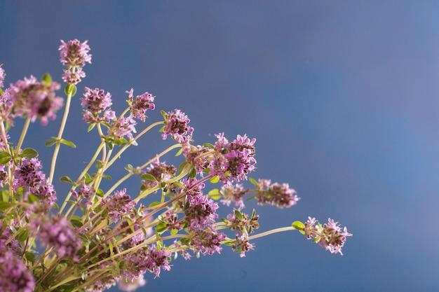 Thymianblüten auf blau