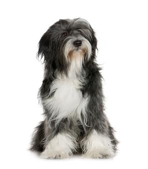 Tibetan terrier (6 jahre)