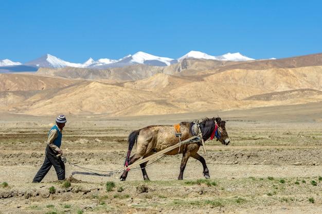 Tibetanischer landwirtpflug durch zugpferd auf ackerland in tibet