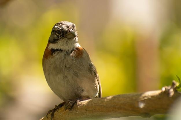 Tico-tico-vogel auf einem stock mit grünem bokeh