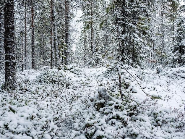 Tiefer winter nördlicher schneebedeckter wald in karelien.