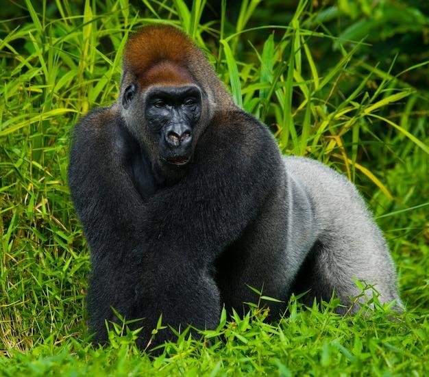 Tieflandgorillas in freier wildbahn. republik kongo