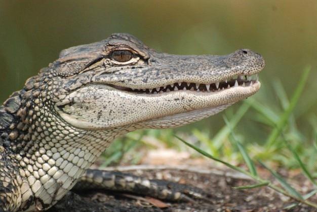 Tier alligatoren jäger reptilien