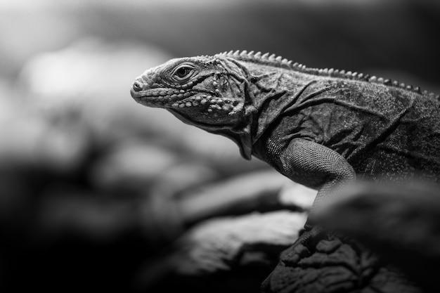 Tier eidechse reptil und leguan