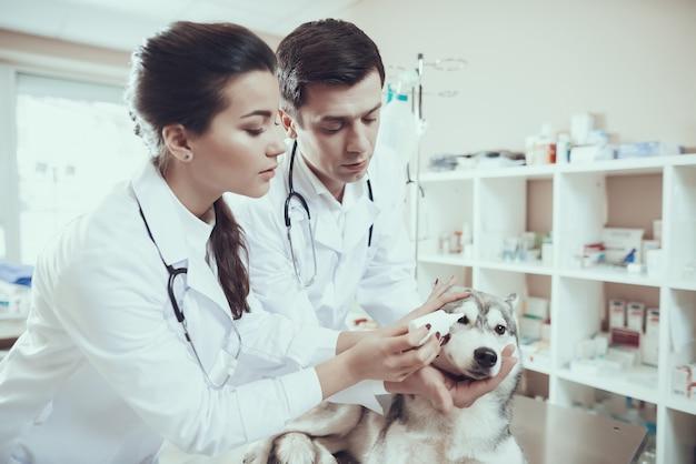 Tierärzte wenden augentropfen für siberian husky an