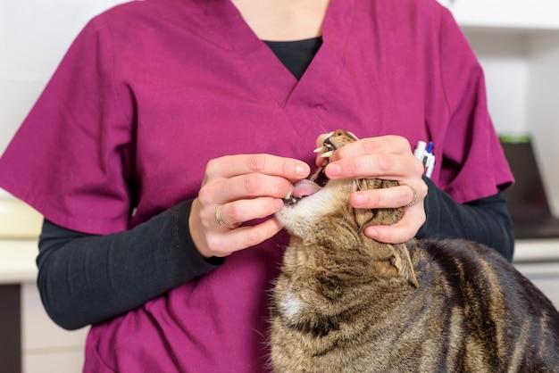 Tierärztlicher doktor, der eine pille für die entwurmung einer katze gibt
