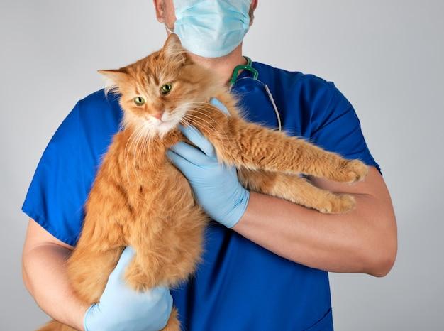 Tierärztlicher doktor in der blauen uniform, die große flaumige rote katze hält
