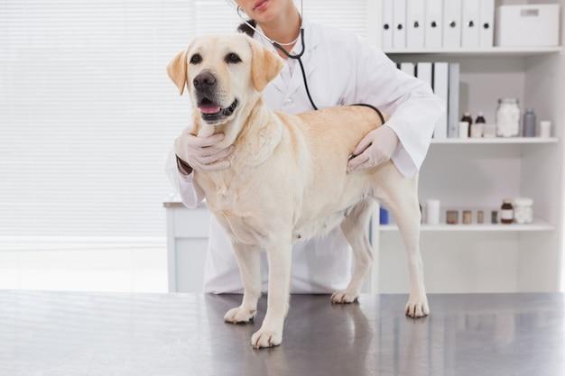 Tierarzt, der ein nettes labrador überprüft