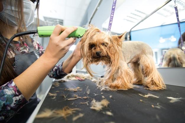 Tierarzt, der einen yorkshire-terrier mit einem haarschneider in einer tierklinik trimmt