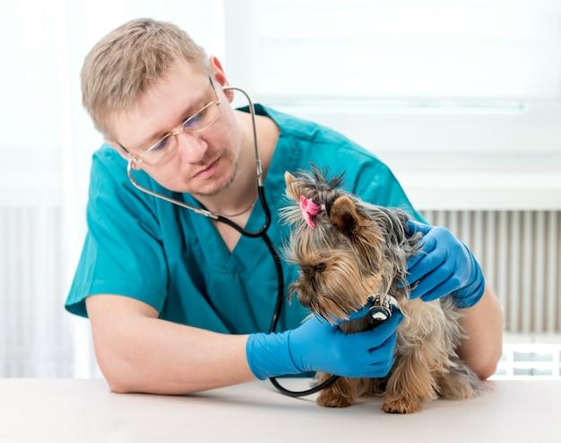 Tierarzt, der hund yorkshires terrier mit stethoskop überprüft