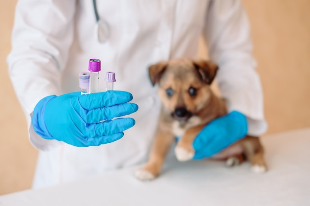 Tierarzt, der reagenzgläser mit impfstoff nahe niedlichem kleinen mischlingshund in klinik hält