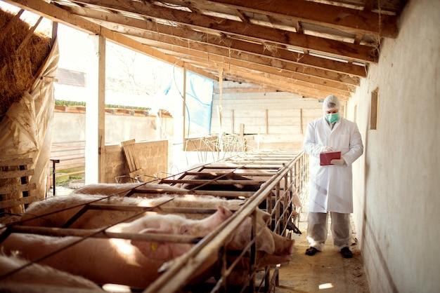 Tierarzt, der schweine auf schweinefarm untersucht.