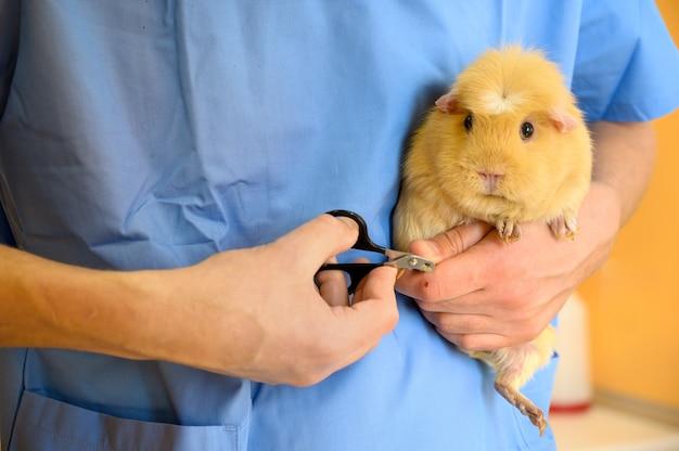 Tierarzt doktor schneidet nägel zu einem meerschweinchen