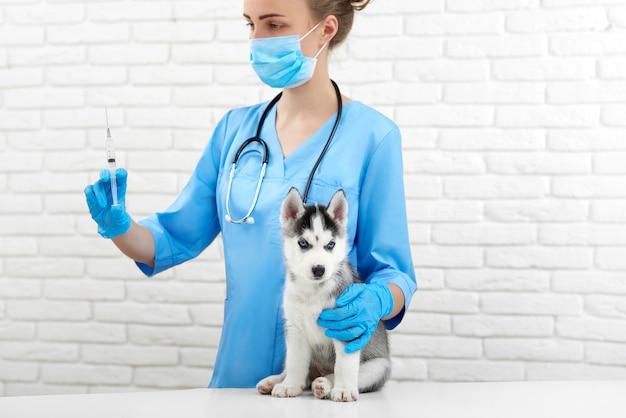 Tierarzt im krankenhaus, der sich um den kleinen husky dognic kümmert