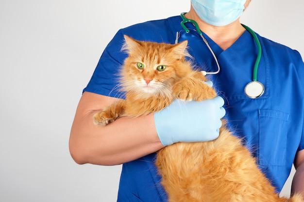 Tierarzt in einer blauen uniform hält eine erwachsene flaumige rote katze mit einer erschrockenen schnauze