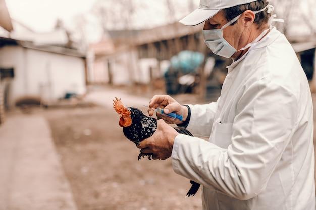 Tierarzt in weißem kittel, hut und schutzmaske bei injektion an kranken hahn. ländliches äußeres.