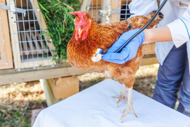 Tierarzt mit stethoskop, das huhn auf ranch hält und untersucht. henne in tierarzthänden zur kontrolle in der natürlichen öko-farm.