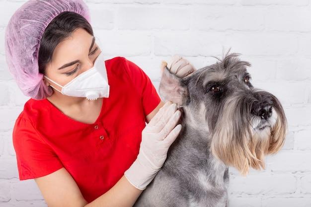 Tierarzt untersucht das schmerzende ohr des hundes