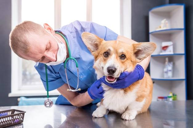 Tierarzt untersucht die pfoten eines kranken corgi-hundes