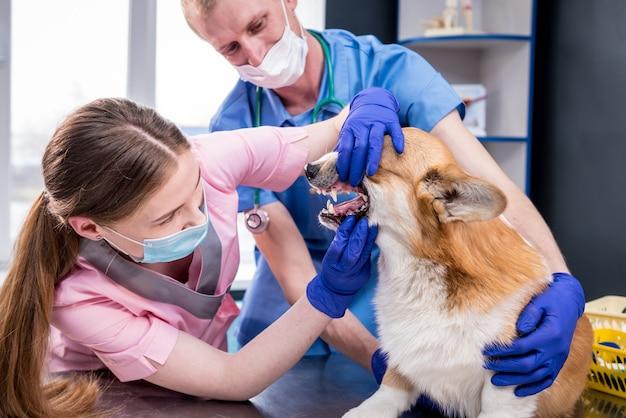 Tierarztteam untersucht zähne und maul eines kranken corgi-hundes