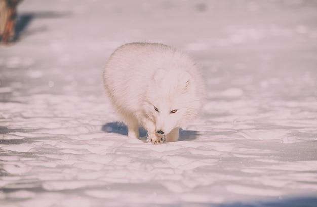 Tierfotografie des weißen fuchses