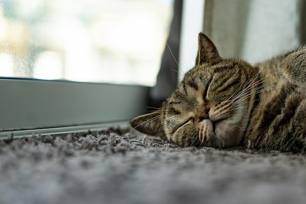 Tierisches schönes babykatzenschlaf-komforthaustier entspannen sich auf der decke