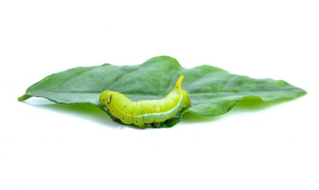 Tierisolat der grünen wurmgleiskettenfahrzeuge auf weiß