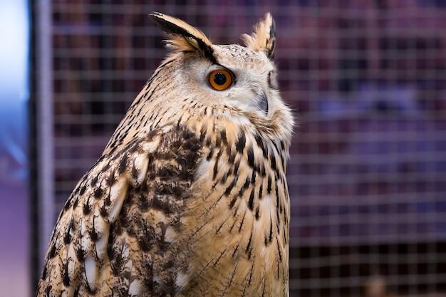 Tiernahaufnahme-showgesichtsvogel-uhu