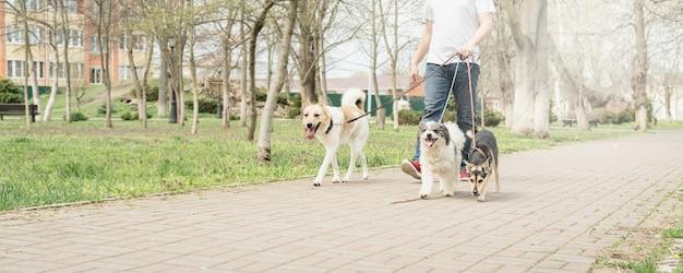 Tierpflege. professioneller männlicher hundewanderer, der ein rudel hunde auf dem parkweg spazieren geht walking