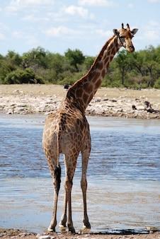 Tiersafari move loch bewässerung afrika giraffe