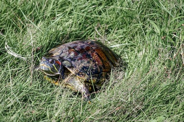 Tierschildkröte amphibische tiere mit harten schalen