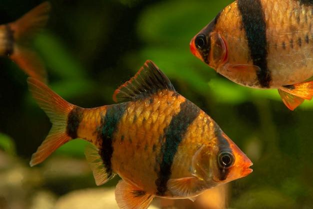 Tiger barb puntius tetrazona im aquarium