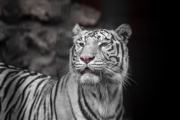 Tiger bengal weiße variante. schöner weiblicher weißer tiger.