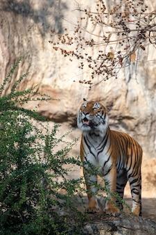 Tiger, der im zoo isst