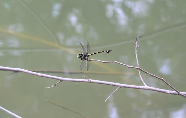Tiger dragonfly auf niederlassung im tropischen wald