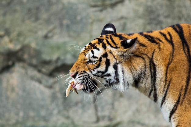 Tiger essen hühnchen