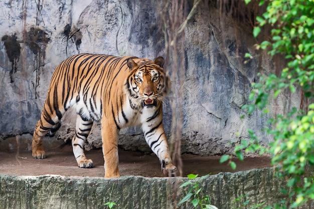Tiger hautnah.