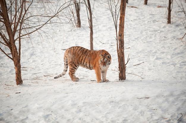 Tiger im schnee und in den bäumen