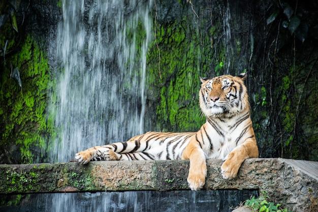 Tiger im zoo, der auf einem felsen mit einem wasserfallhintergrund liegt