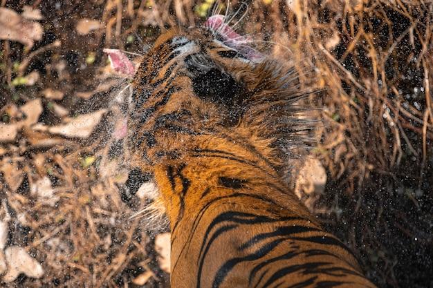 Tiger im zoo, tigeraktion und show im zoo