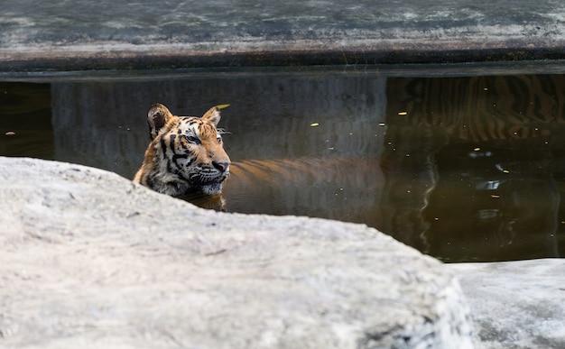 Tiger spielt wasser und starrte