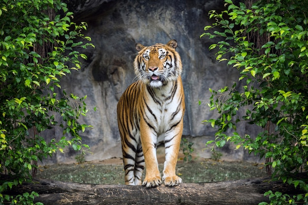 Tiger steht in der waldatmosphäre.