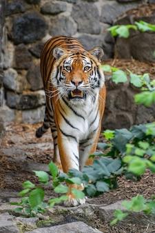 Tiger, wildes tier im natürlichen lebensraum. große katze, gefährdetes tier im wald versteckt